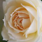 Rose ...pure and simple ...... by LynnEngland