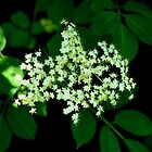 Wild Elder Flower | Normandy, France by rubbish-art