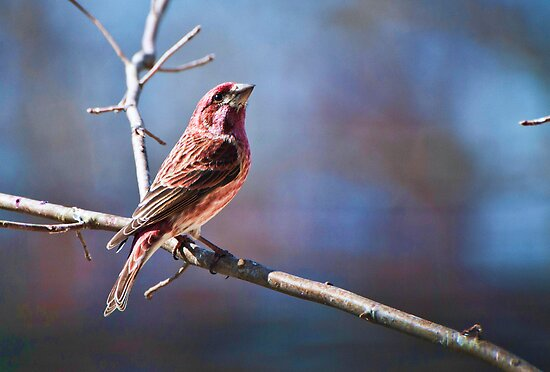 Male Purple Finch by barnsis
