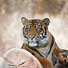 Siberian Tiger by zzsuzsa