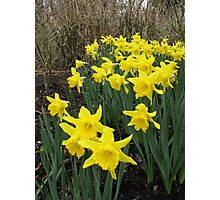 Daffodils in Woodland Photographic Print