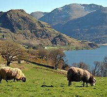 Rams at Buttermere  by Knut P.  Boyum