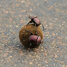 Dung Beetle by croust