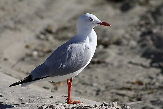 Lone Seagull by desley55