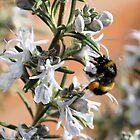 Bee Hugging the Rosemary by MuddyNoSugar