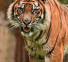 Sumatran Tiger by Sea-Change
