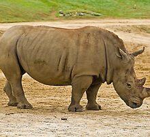 Southern white rhinoceros by Thad Zajdowicz