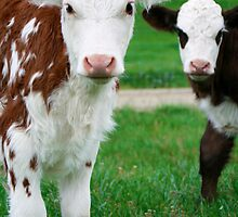 Two Calves by Heike Richter