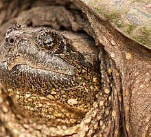 Common Snapping Turtle by April Koehler