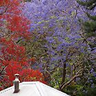 Jacaranda & Illawarra Flame Tree by Fiona Allan Photography