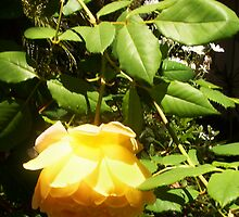 Mother's Yellow Upside-down Rose - 11 11 12 by Robert Phillips