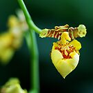 Yellow orchid by Neutro