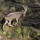 Mountain Goat by CreativeEm