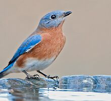 Bluebird at the Birdbath by Bonnie T.  Barry