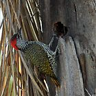 Golden-tailed Woodpecker by Antionette
