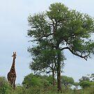 Giraffe by croust