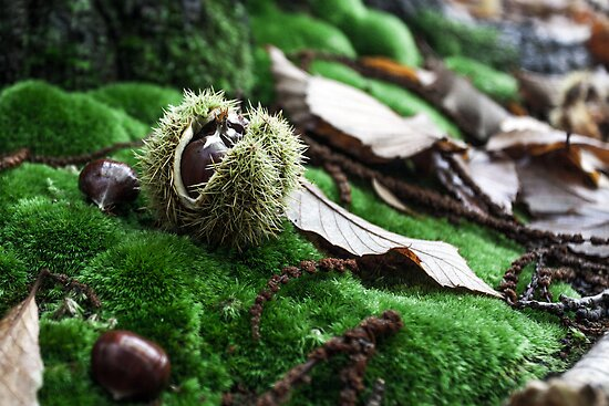 Fresh chestnuts on moss by SergiWave
