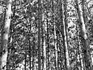Pines in Black and White, Dunrobin Ontario by Debbie Pinard