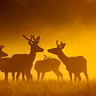 Red Deer(Cervus elaphus) by DamianK