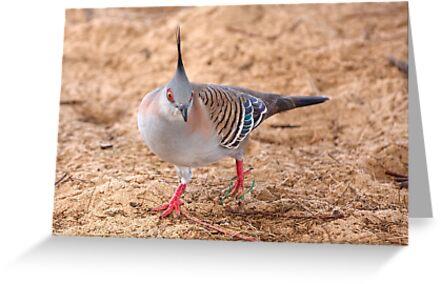 Crested Pigeon by Robert Elliott