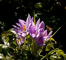 Crocuses and Bee by Sue Robinson