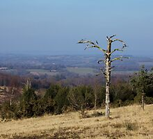 Lone Tree on Ashdown Forest by Sue Robinson