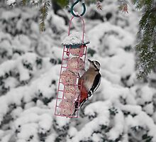 Great Spotted Woodpecker in snow by Sue Robinson