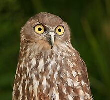 Barking Owl by Sea-Change