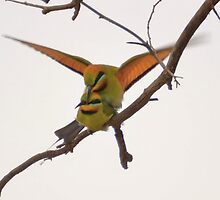 mating Rainbow Bee Eaters by Mel  LEE