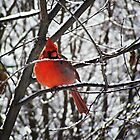 winter cardinal by Stephanie Aughenbaugh
