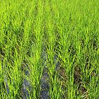 Lush Rice Paddy in Bali by TravelShots