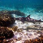Black Tip Reef Shark - Lady Elliot Island by Jaxybelle