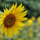 A Sunflower by Lori Deiter