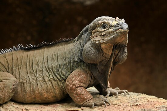 Australia Zoo - Rhinoceros Iguana by Sea-Change