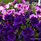 Purple Petunias  by Darkness666
