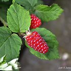 Loganberries by Annie Altherr