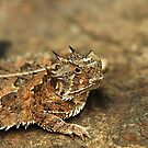 Horned Lizard II by Samantha Dean