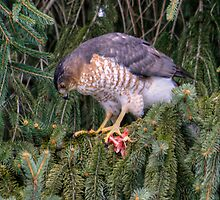 Well-Fed Cooper's Hawk by Gene Walls
