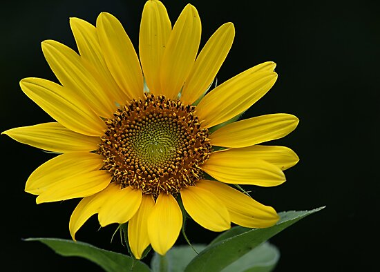 Sunflower Beauty by Samantha Dean