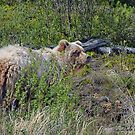 Yukon Grizzly  by Dyle Warren