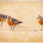 Red Knots  by Jacque Gates
