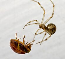 American House Spider with Guest by Otto Danby II