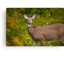 White Tail Early Autumn Canvas Print