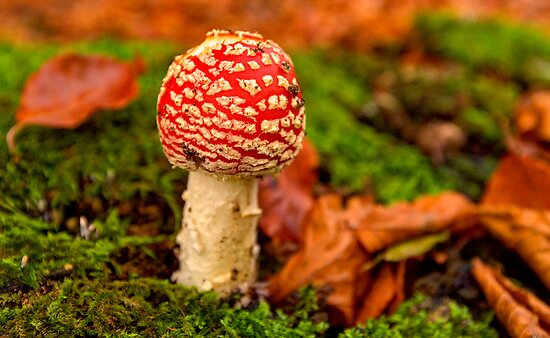 Fly Agaric by Keld Bach