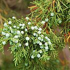 Juniper Berries by mcstory