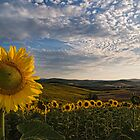 Sunflowers by Wonderful Tuscany Landscapes