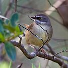 White-browed Scrubwren by Will Hore-Lacy