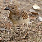 Bower Bird by Hedoff