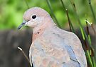 Rooiborsduif / Lauging Dove by Elizabeth Kendall
