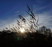 Reeds in the WInter Sun by HexCam